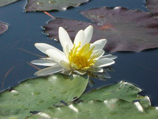 Water lilly.JPG